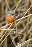 Common kingfisher Stock Image