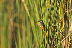 Common kingfisher in the morning Royalty Free Stock Images