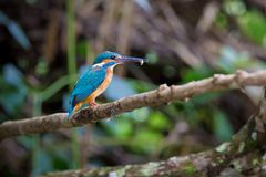 Common kingfisher perch on the branch over the stream at Kaoyai. Thailand,looking for some fish and catch it by his long mouth Royalty Free Stock Images