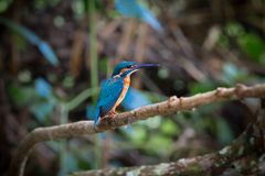Common kingfisher perch on the branch over the stream at Kaoyai. Thailand,looking for some fish royalty free stock photo