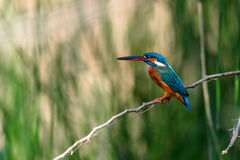Common Kingfisher Perched Stock Photo