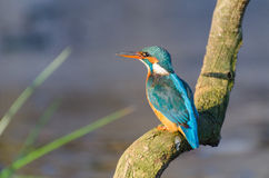Common Kingfisher. Photographed from inside a bird hide royalty free stock image