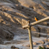 Common Kingfisher at the pier Stock Photography