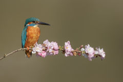 A common kingfisher with pink blossom Stock Photos