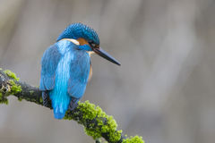 Common Kingfisher Portrait (Male) - Alcedo Atthis Stock Images