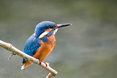 Common Kingfisher. Kingfisher resting on a perch Royalty Free Stock Photo