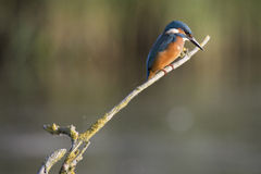 Common Kingfisher Stock Photography