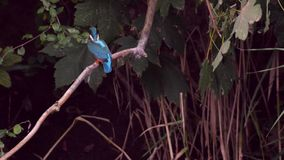 Common Kingfisher sitting on a branch and diving in the water stock footage