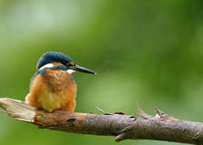 Common Kingfisher sitting on the fat branch. Poland in July.Sunny morning above the old river bed of the river Bug.Kingfisher is resting and looking on the right Royalty Free Stock Images