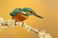 The Common Kingfisher in Spain Royalty Free Stock Images
