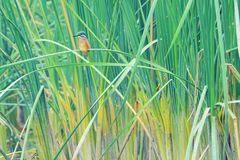 Common Kingfisher Stock Photo