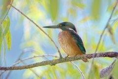 Common Kingfisher Royalty Free Stock Photography