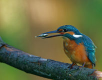 Common Kingfisher tossing the fish before swallowing down Royalty Free Stock Photography