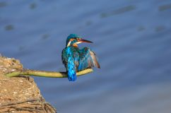 The common kingfisher up close stock photo