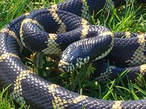 Common Kingsnake Coiled Royalty Free Stock Photo