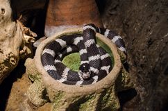 Common kingsnake curled up in a terrarium in Kiev zoo royalty free stock photo