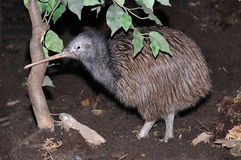 Common Kiwi. North Island brown kiwi, Apteryx australis, New Zealand Royalty Free Stock Photos