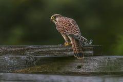Common krestel (Falco tinnunculus) Royalty Free Stock Photo