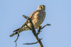 Common krestel (Falco tinnunculus) Royalty Free Stock Images