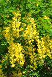 Common laburnum Laburnum anagyroides Stock Photos