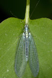 Common lacewing, chrysopidae Stock Images
