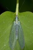 Common lacewing, chrysopidae. Closeup macro portrait Stock Images