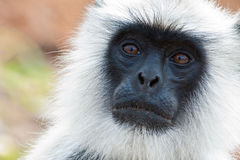 Common Langur Closeup Portrait. Common langur in Bandipur National Park, India Stock Images