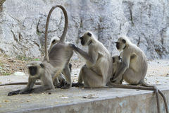 Common Langur family Stock Image
