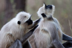 Common Langur monkeys grooming Royalty Free Stock Photo