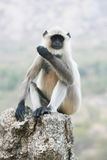 Common Langur Portrait Stock Image