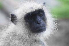 Common Langur Portrait Royalty Free Stock Photography