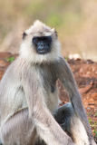 Common Langur Relaxing. In Bandipur National Park, India stock photography