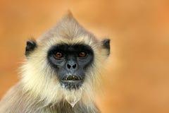Common Langur, Semnopithecus entellus, detail portrait of monkey, nature habitat, Sri Lanka. Close-up photo of langur. Wildlife Sr Stock Photo