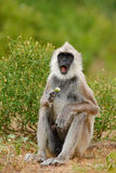 Common Langur, Semnopithecus entellus, monkey with fruit in the mouth, nature habitat, Sri Lanka. Common Langur, Semnopithecus entellus, monkey Stock Images