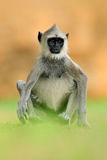 Common Langur, Semnopithecus entellus, monkey sitting in grass, nature habitat, Sri Lanka. Feeding scene with langur. Wildlife of Stock Photo