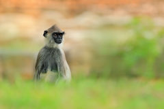 Common Langur, Semnopithecus entellus, monkey sitting in grass, nature habitat, Sri Lanka. Feeding scene with langur. Wildlife of Royalty Free Stock Image