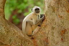 Common Langur, Semnopithecus entellus, portrait of monkey, nature habitat, Sri Lanka. Feeding scene with langur. Wildlife of India Stock Photo