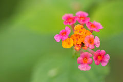 Common lantana. With green backgrounds Royalty Free Stock Photo