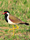 Common lapwing Royalty Free Stock Photo