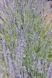 Common Lavender Royalty Free Stock Photo