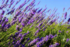 Common lavender Royalty Free Stock Image