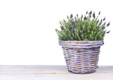 Common lavender plant in a lilac basket royalty free stock photo