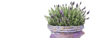 Common lavender plant in a lilac basket stock photos