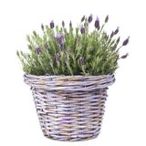 Common lavender plant in a lilac basket. Isolated stock photo