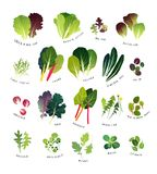 Common leafy greens complete list Royalty Free Stock Photos