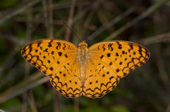 Common Leopard Butterfly Stock Images