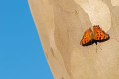 Common leopard butterfly on a trunk of sycamore tree and blue background. Common leopard butterfly also known as spotted rustic butterfly, Phalanta phalanta stock image