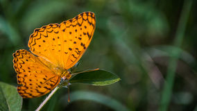 Common Leopard Butterfly on Left Royalty Free Stock Photo