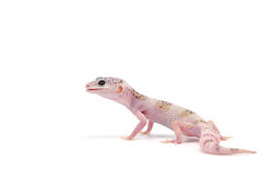 Leopard Gecko isolated on white background. The common leopard gecko or spotted fat-tailed isolated on white background stock images