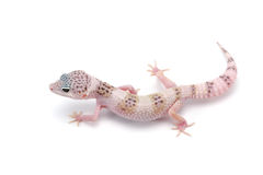 Leopard Gecko isolated on white background. The common leopard gecko or spotted fat-tailed isolated on white background stock photography